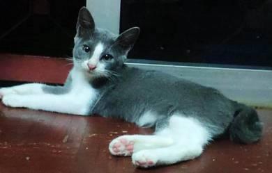 Long socks british siam mix kitten cat betina