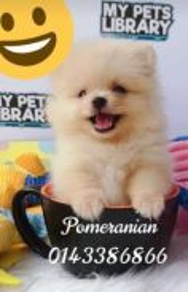 Pomeranian #Super Small size