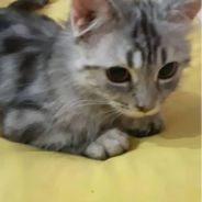 Munchkin. for rehome