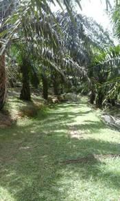 Kebun sawit untuk dipajak area felda chini