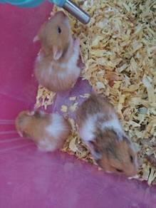 Hamster Syrian Sihat Gebu