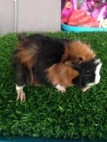 Guinea pig (ABBY)