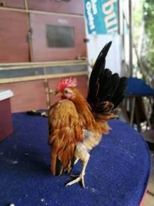 Ayam serama muda saiz A