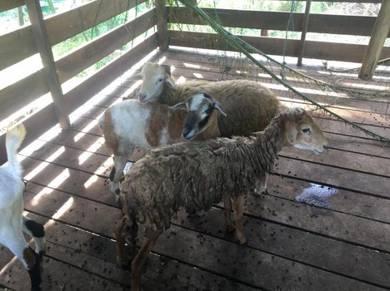 Kambing / Livestock