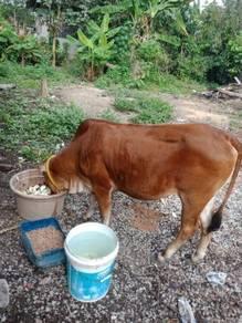 Lembu utk dijual