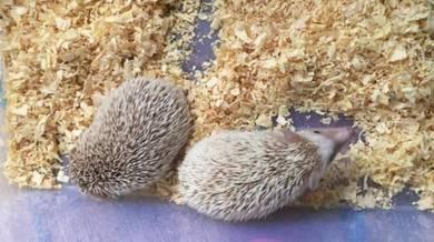 Landak mini / hedgehog