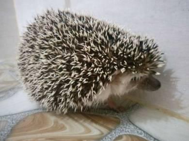 Landak Mini Hedgehog (dewasa)