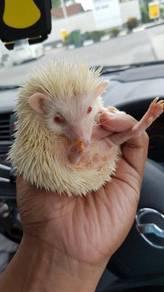 Hedgehog white albino male