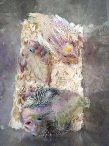 Burung Cockatiel Baby
