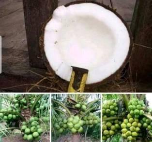 Benih kelapa tacunan dan kelapa pandan