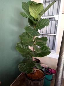 Fiddle Leaf Fig Tree Ketapang brazil
