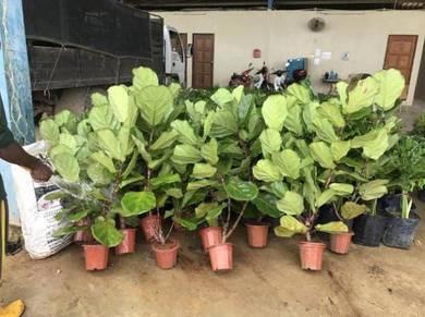 Fiddle Leaf Fig / Ficus Lyrata (pot)