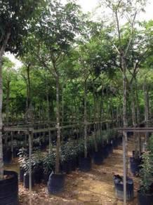 Rain Tree Pokok Hujan Samanea Saman