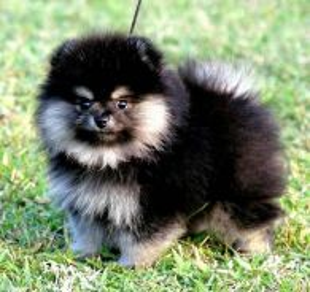 Pomeranian black tan