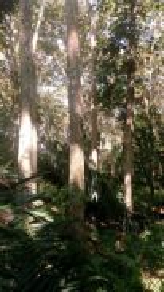 Pokok Kayu jati emas