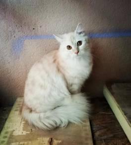 Kucing Parsi mix