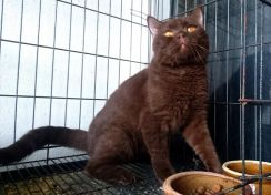 British shorthair BSH male proven service MATING