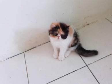 Flatface Exotic Shorthair Kitten Female