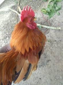 Ayam Serama Jantan 3 Ekor