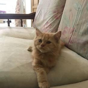 Kitten mix persian