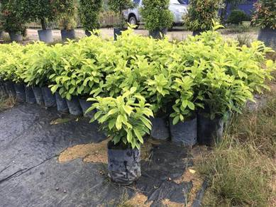 Ficus Nitida 'Golden' (Ficus Gold)