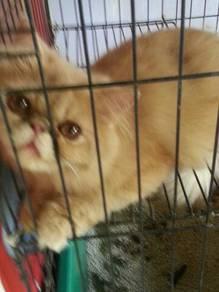 kucing semiflat utk dijual