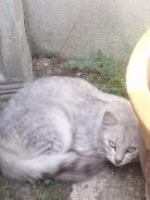 Kucing Parsi Grey Colour Comel