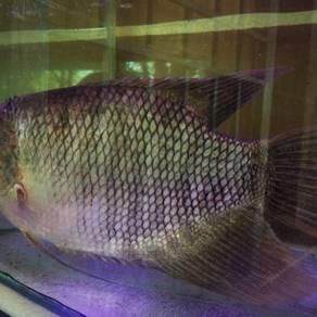 Ikan Kaloi ( Osphronemus goramy )