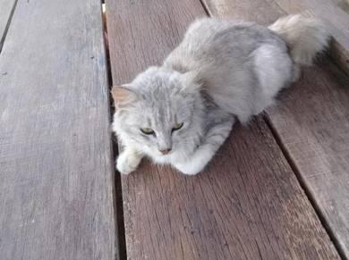 Kucing Parsi Grey Colour Comel