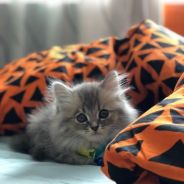 Kitten persian mix mainecoon