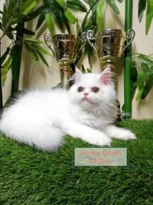 Semi flat persian kucing male