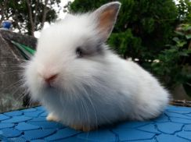 Arnab Mix Angora Rabbit 'Benji'