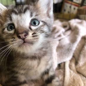 Kitten anak kucing silver