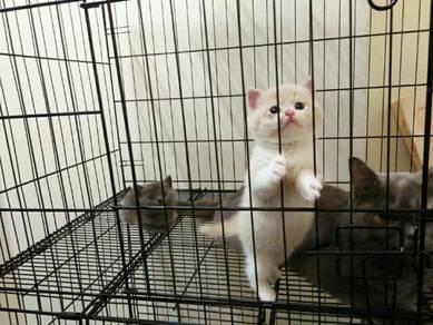 Purebreed British Shorthair Kitten