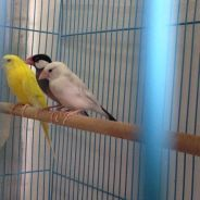 Budgie and java sparrow