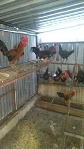Ayam Baka Pama Cross Untuk Dijual