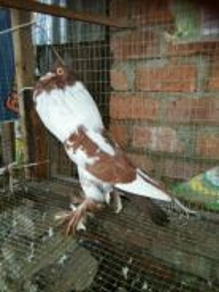 Burung merpati hana pouters jantan induk