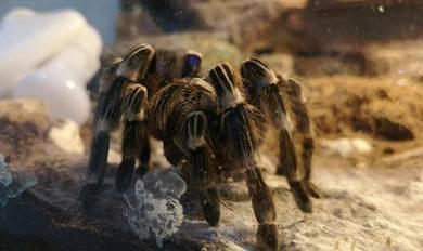 Spider Tarantula