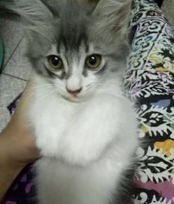 Anak kucing kitten grey-white