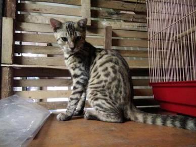 Kucing Bengal Rosette