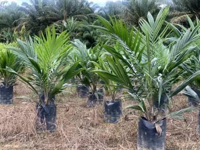 Jamin Tulen! Benih Kelapa Sawit Oil Palm Seedling