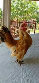 Ayam Serama Jadi