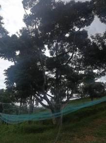 Durian Farm Land at Pagoh Johor