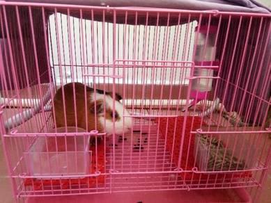 Gunie pig (Jantan)