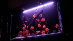 Discus fishes to clear ASAP