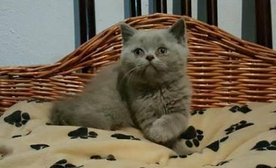 British Short Hair kitten -Blue and Lilac