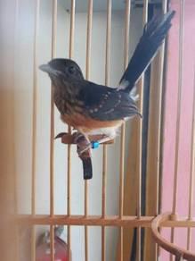 Burung murai batu siap lesen