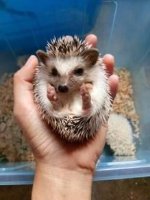 Hedgehog (Landak Mini)