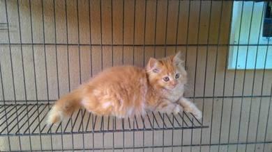Kucing DLH untuk dijual