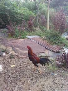 Ayam merah
